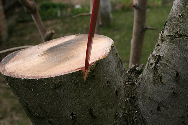 Выполнение весенней прививки за кору яблони на примере старого дерева