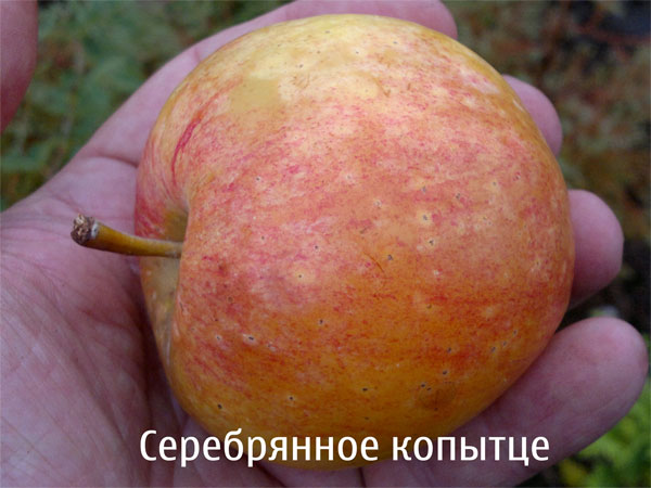 Налитое яблоко с полосатым румянцем гибридного сорта Серебряное копытце