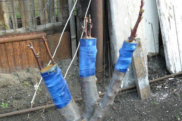 Обматывание места прививки яблони в расщеп синей изоляционной лентой