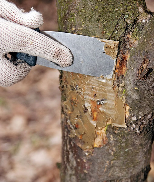 Обработка поврежденного участка ствола яблони садовым варом с помощью шпателя
