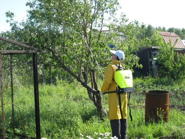 Летняя обработка дерева яблони из ранцевого опрыскивателя