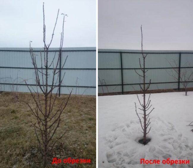 Обрезка колоновидной яблони после подмерзания верхушки