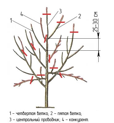 Правильная схема формирования кроны яблони на третьем году жизни деревца