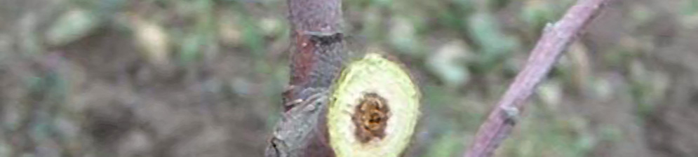 Обрезанная верхушка колоновидного дерева