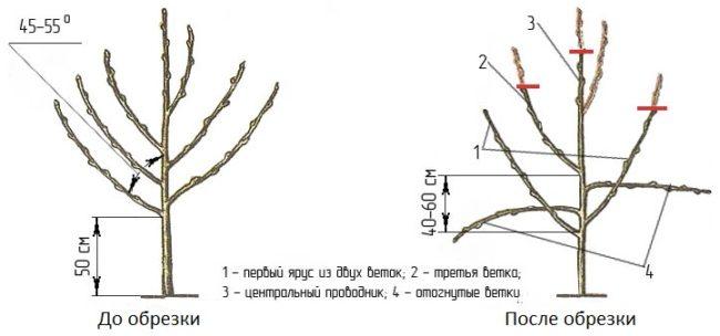 Подробная схема весенней обрезки двухлетнего саженца яблони