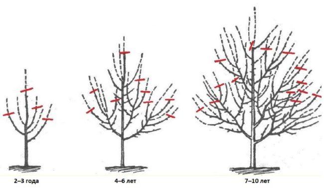 Схема обрезки веток яблони в зависимости от возраста плодового дерева