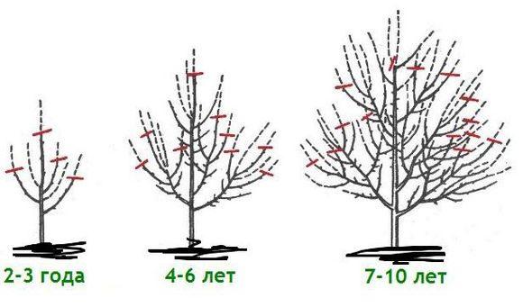 Схема формирующей обрезки веток яблони со второго по десятый года жизни растения