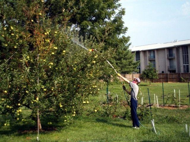 Летняя обработка яблони от гусениц из садового опрыскивателя