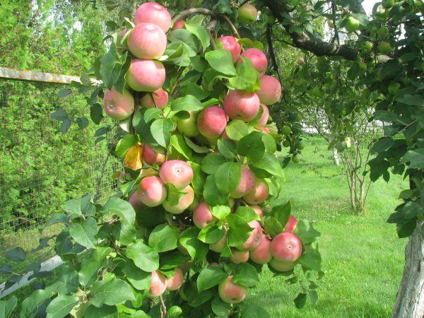 Склонившиеся под тяжестью плодов ветки яблони сорта Памяти Тихомирова