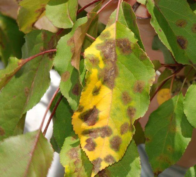 Лист яблони с симптомами поражения дерева паршой обыкновенной