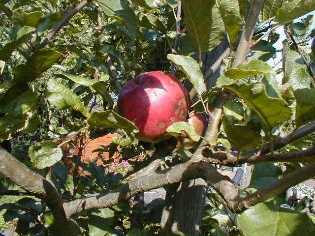 Плод и листья садовой яблони с признаками поражения дерева паршой