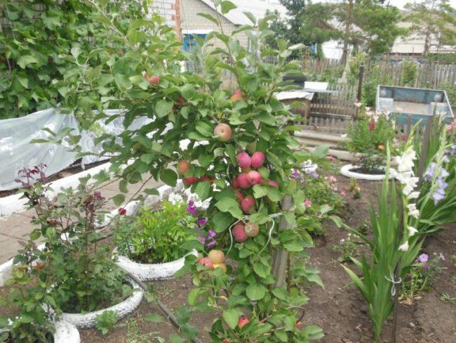 Молодая яблонька сорта Серебряное копытце в частном саду на Урале