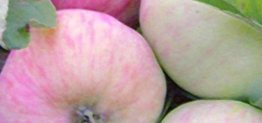 Созревающие плоды на дереве сорта яблони Грушовка Московская