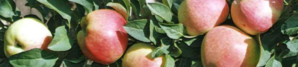 Поспевающие плоды колоновидной яблони Ценная Валюта