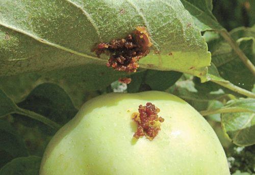 Плод и лист яблони с бурыми наростами от плодожорки