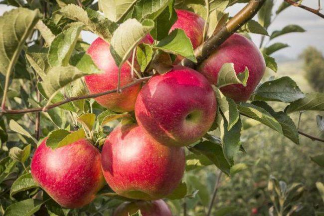 Красноватые яблоки среднего размера на ветке дерева сорта Серебряное копытце