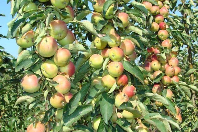 Ветки с плодами колоновидной яблони сорта Валюта российской селекции