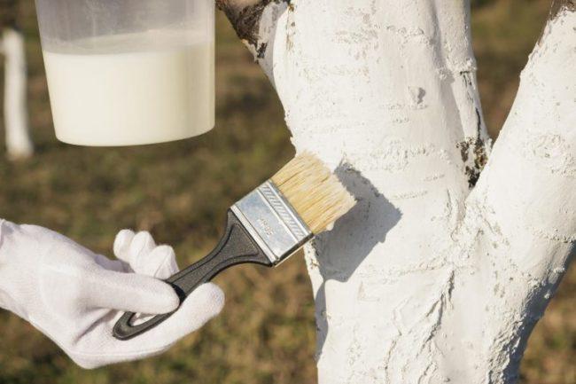Обработка ствола яблони садовой побелкой из гашеной извести