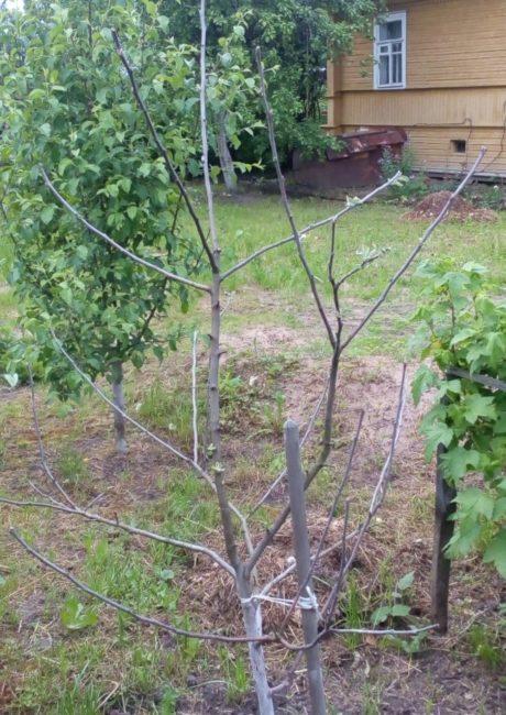 Не распускаются почки после зимы на молодом деревце яблони