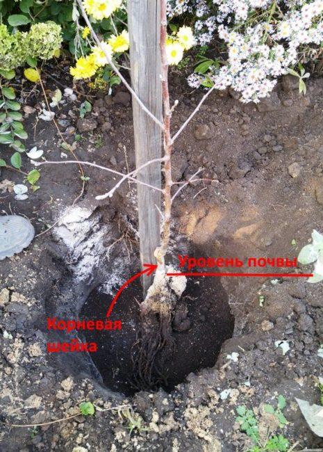 Размещения саженца яблони в посадочной яме с опорным колом