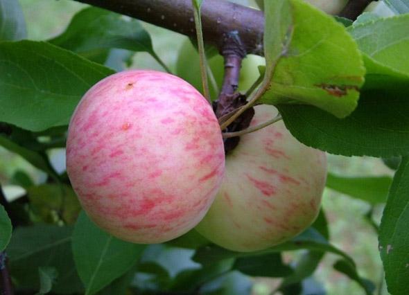 Яблоки с розово-полосатой покровной окраской на ветке дерева сорта Грушовка Московская