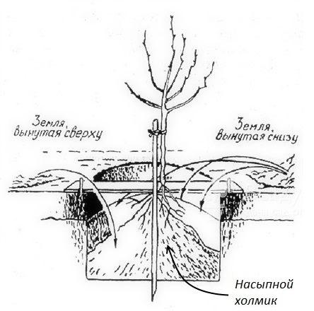 Схема посадки яблоневого саженца в лунку с насыпным холмиком