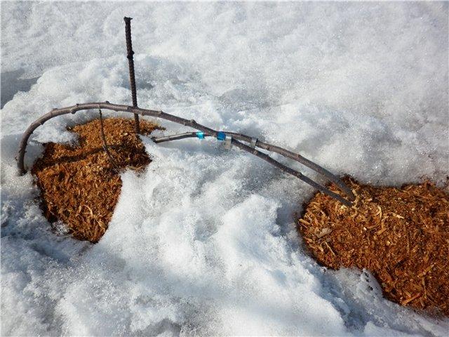 Весенние проталины на приствольном круге колоновидных яблонь, пригнутых на зиму к земле