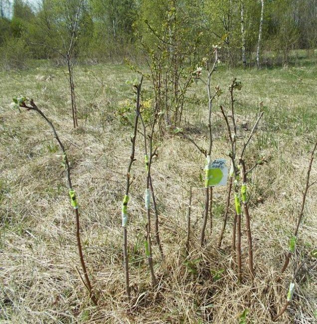 Дички яблони с привитыми черенками из местного плодового хозяйства