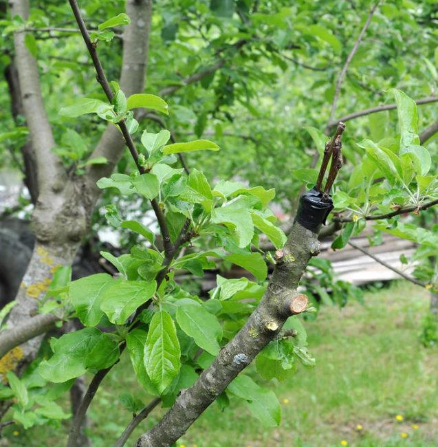Прививка черенков нового сорта яблони на старое дерево в частном саду