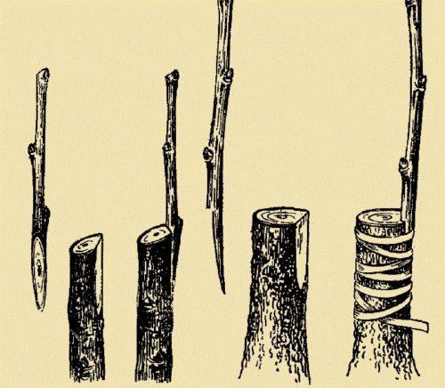 Схема прививки яблони ранней весной с помощью приклада черенка к подвою