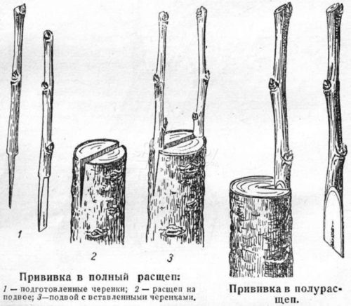 Схема прививки яблони в полный и частичный расщеп в весенний период