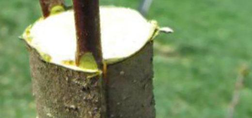 Прививка яблони в весенний период в расщеп