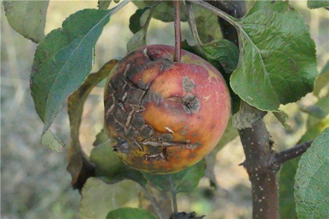 Яблоко на ветке с характерными признаками заражения растения паршой
