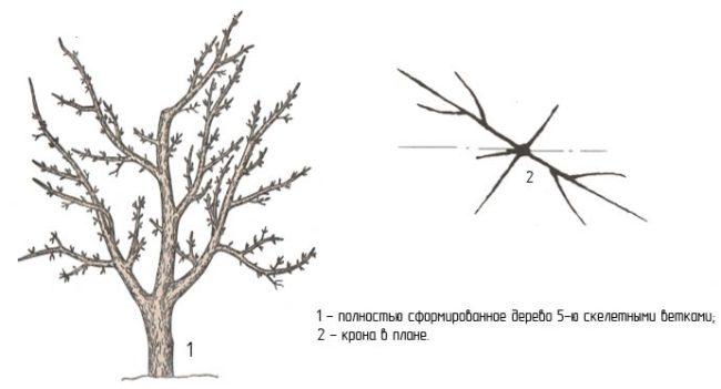 Схема сформированной кроны взрослого дерева яблони в плане
