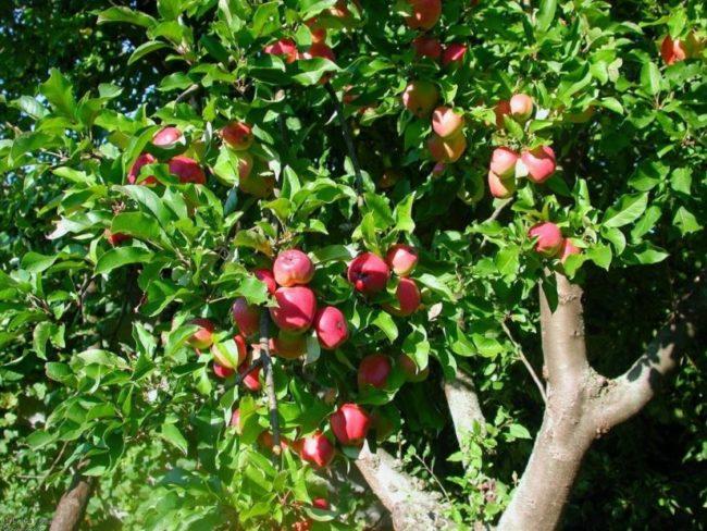 Взрослое дерево яблони гибридного сорта Розовый Жемчуг с красными плодами