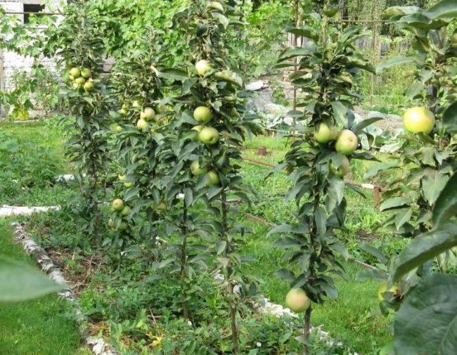 Зеленые яблоки на стволах колоновидных яблонь, высаженных в один ряд