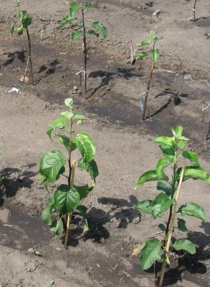 Молодые саженцы колоновидной яблони после посадки на постоянное место произрастания