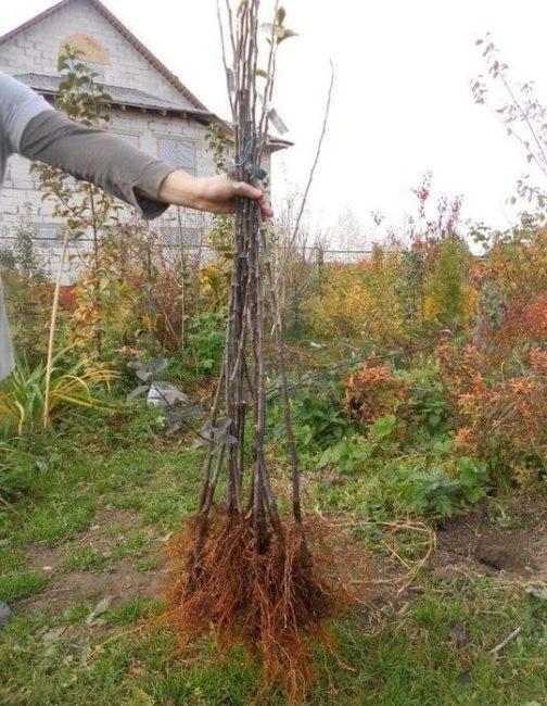 Рослые саженцы яблони с открытыми корнями в руке опытного садовода