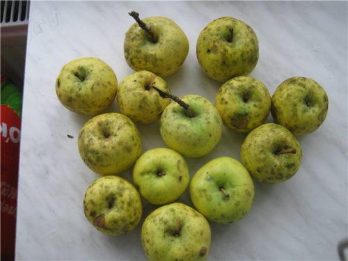 Желто-зеленые яблоки с серым налетом при поражении сажистым грибком