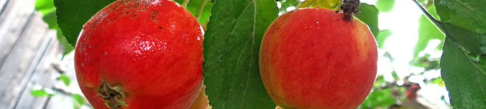 Спелые плоды на яблоне сорта Серебряное копытце
