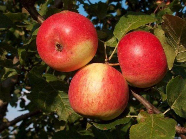 Спелые плоды с красным румянцем на яблоне сорта Серебряное копытце
