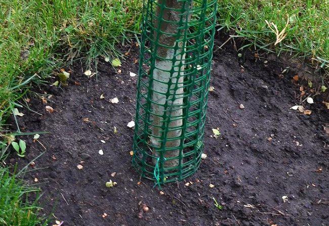Зеленая сетка из пластика вокруг ствола молодой яблони для защиты от зайцев