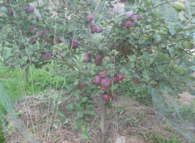 Защита яблони от птиц с помощью капроновой сетки своими руками