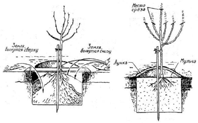 Схема посадочной ямы для молодой яблони с указанием мест обрезки кроны деревца