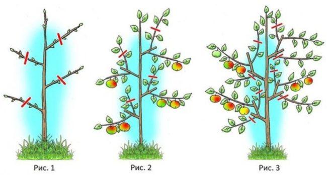 Схема формирования кроны колоновидной яблони в первые три года жизни деревца