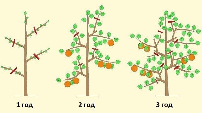 Схема формирования кроны колоновидной яблони с первого по третий года жизни растения