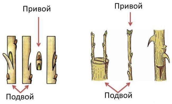 Схема с двумя способами прививки яблони в весенний период