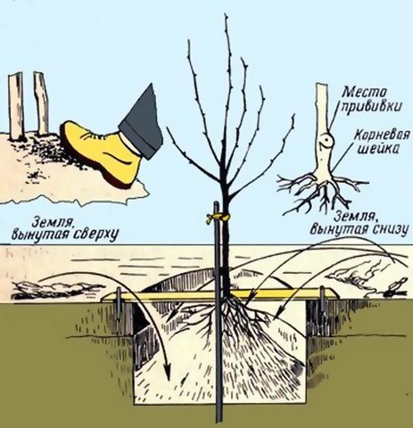 Подробная схема подготовки ямы и посадки саженца яблони своими руками