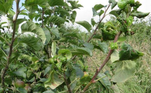 Ветка яблони с типичными признаками появления колонии тли
