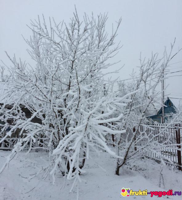 Яблоня с большим количеством снега на кроне и ветках